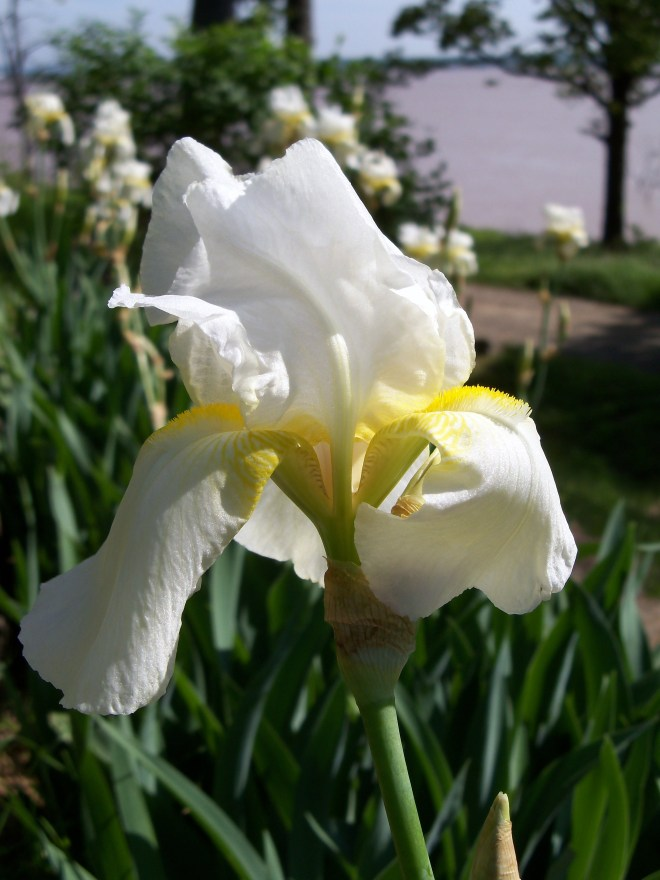 Iris 2013