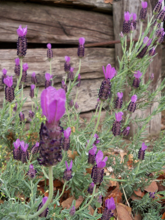 Lavender 2013