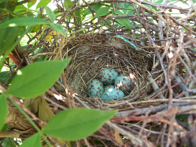 Mockingbird Nest & Eggs I