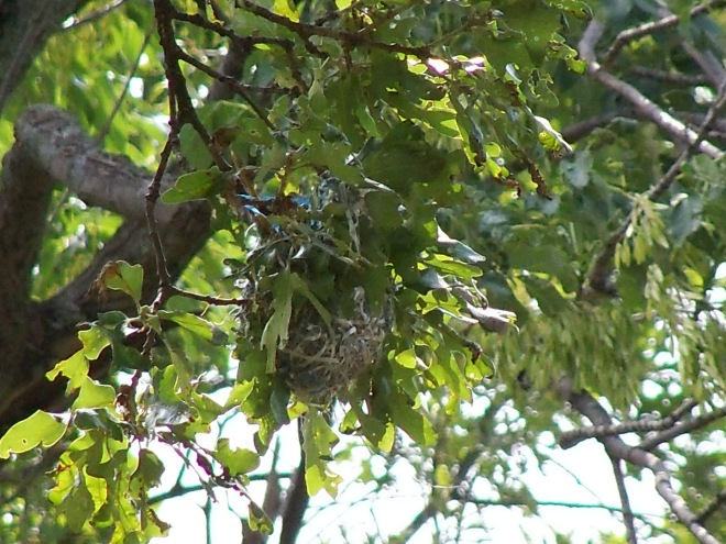 Oriole Nest in our front yard