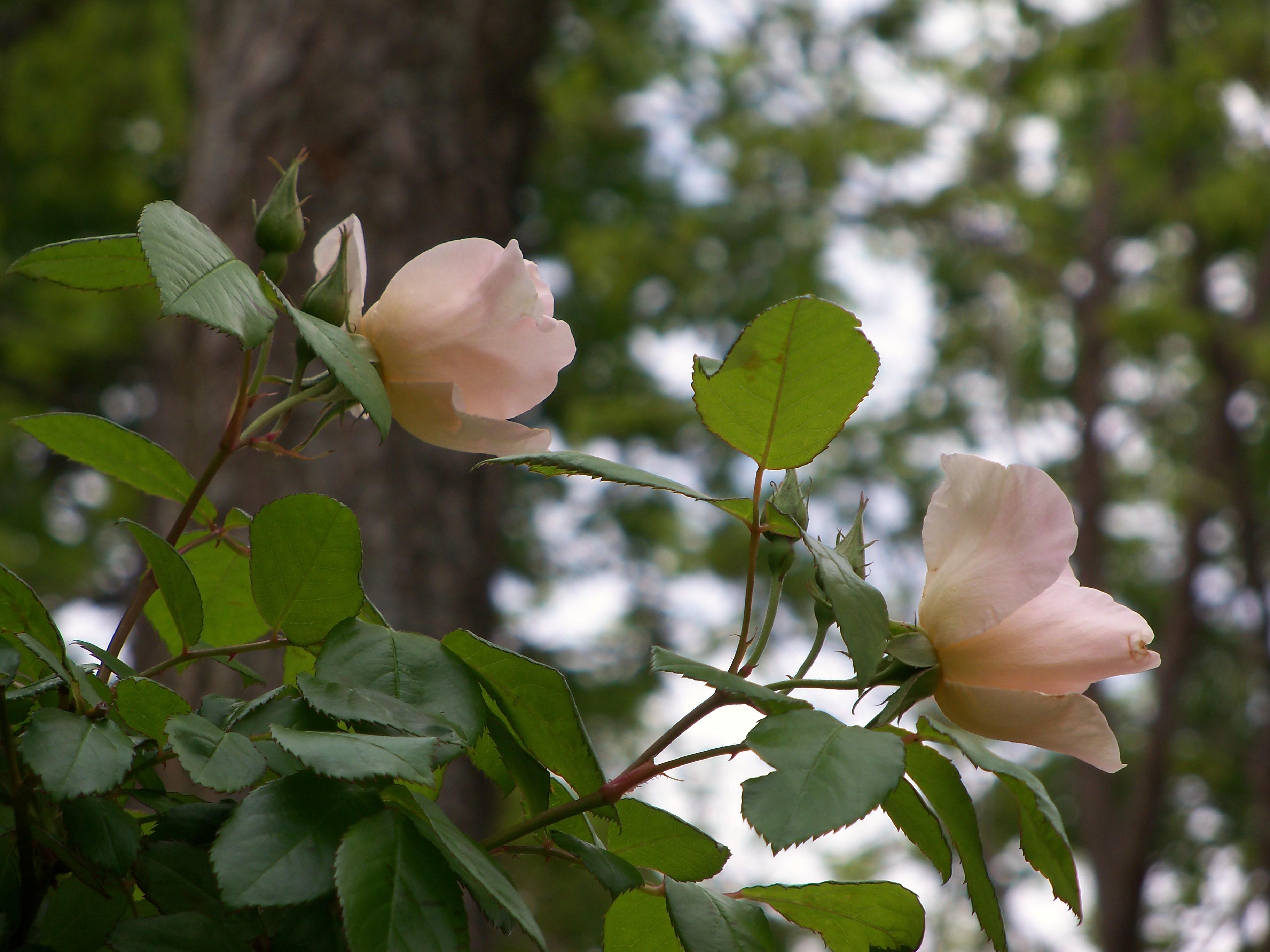 Roses 2013