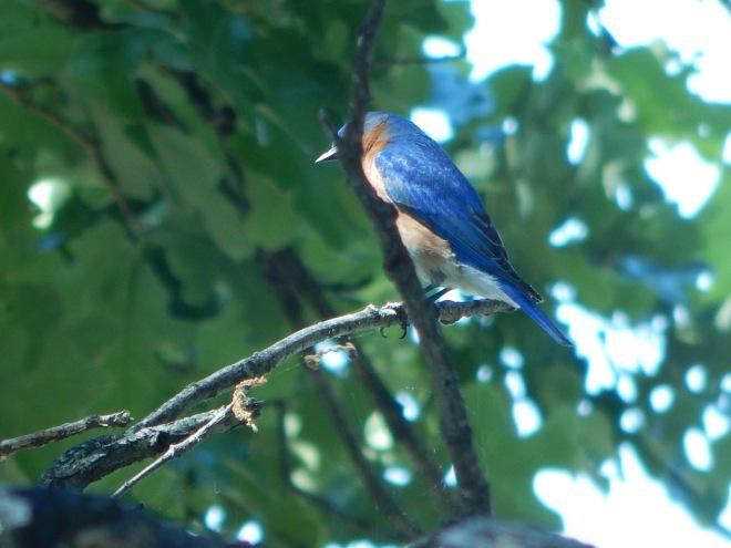 Bluebird of Happiness.JPG